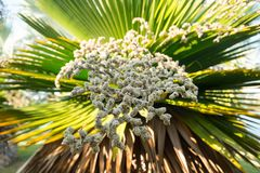 La rama de la palma de la fruta fotografía de archivo