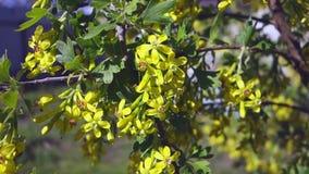 La rama de la pasa de florecimiento que se sacude en el viento, pasas amarillas de las flores en fondo del cielo azul