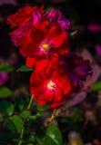 La rama de rosas rojas en la floración en un fondo oscuro Imagen de archivo
