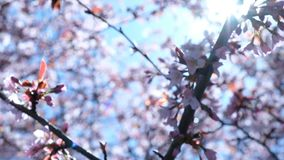 La rama de Sakura florece las oscilaciones en el viento contra el contexto de la luz del sol, movimiento de la cámara almacen de video