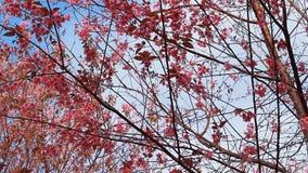 La rama de Sakura rosado florece en la montaña de Phu Lom Lo metrajes