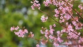 La rama de Sakura rosado florece en la montaña de Phu Lom Lo almacen de video