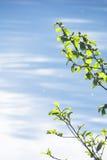 La rama de un árbol de abedul con verde se va en un fondo del agua clara azul Imagen de archivo libre de regalías