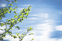 La rama de un árbol de abedul con verde se va en un fondo del agua clara azul Fotografía de archivo libre de regalías