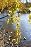 La rama de un árbol de abedul en el día del otoño Fotografía de archivo