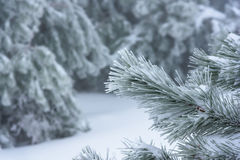 La rama de un árbol de navidad en foco con un fondo borroso Rusia, Stary Krym Foto de archivo libre de regalías
