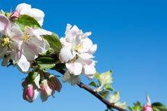 La rama de un manzano con la manzana florece Imagenes de archivo