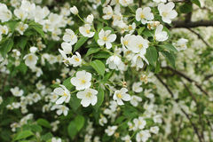La rama de un manzano floreciente Foto de archivo