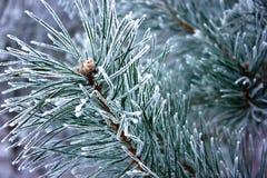 La rama de un pino Fotografía de archivo libre de regalías