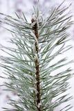 La rama de un pino Foto de archivo libre de regalías