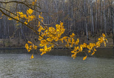La rama de un roble con amarillo se va en la luz del sol Imagen de archivo libre de regalías
