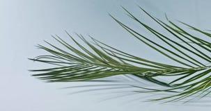 La rama de una palmera tropical verde gira lentamente alrededor del tronco en fondo azul Movimiento lento liso de a almacen de metraje de vídeo