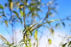 La rama del árbol de los amentos del abedul florece contra el cielo azul Fotos de archivo libres de regalías