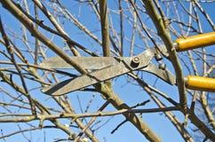 La rama del árbol frutal del ajuste del corte con las podadoras del wintage scissor en jardín de la primavera foto de archivo libre de regalías