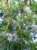 La rama del árbol gigante foto de archivo