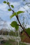 La rama del abedul con la primavera joven se va contra el cielo Fotos de archivo