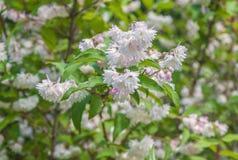 La rama del deutzia borroso blanco rosáceo elegante florece Imagenes de archivo