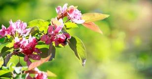 La rama del manzano floreciente en un fondo verde Foto de archivo libre de regalías