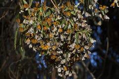 La rama del monarca foto de archivo libre de regalías