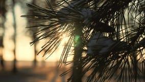 La rama del pino del invierno, copos de nieve en una rama, picea se va con agua cae el primer Visión natural hermosa con almacen de video