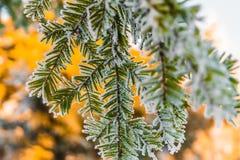 La rama escarchada del abeto con nieve en mañana fría del invierno es ilumina Imágenes de archivo libres de regalías