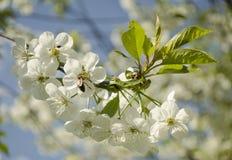 La rama florece la cereza Imagen de archivo