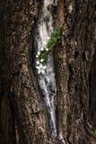 La rama floreciente de la primavera de la cereza florece en una corteza de árbol Dramat Fotos de archivo