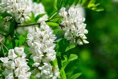 La rama floreciente del acacia blanco con la abeja en la acción blanca florece Primer Imagenes de archivo