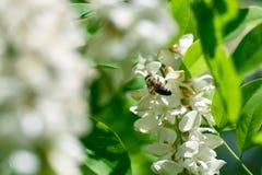 La rama floreciente del acacia blanco con la abeja en la acción blanca florece Primer Fotografía de archivo libre de regalías