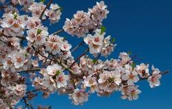 La rama floreciente del melocotón Imagen de archivo