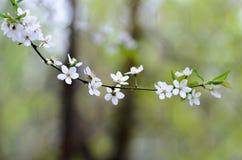 La rama floreciente, el árbol con los flores blancos y el verde se va en un fondo en colores pastel borroso Imagen de archivo