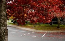 La rama gigante del roble con follaje rojo cubre el estacionamiento adentro fotos de archivo