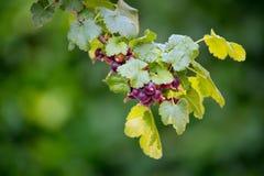 La rama joven de la pasa con agua cae en las hojas y el berrie verdes imágenes de archivo libres de regalías