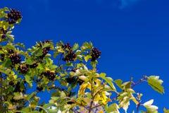 La rama negra del serbal Fotos de archivo