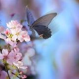 La rama realista de la cereza de Sakura con la floración florece con b agradable Foto de archivo libre de regalías