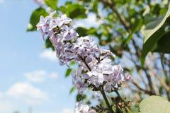 La rama rosada de la lila en verde se va en macro de la primavera Foto de archivo libre de regalías