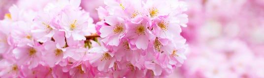 La rama rosada hermosa de la flor de cerezo, Sakura florece en blanco Foto de archivo libre de regalías