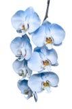 La rama tropical exótica de orquídeas azules románticas florece Foto de archivo