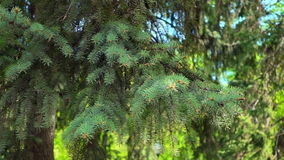 La rama verde del árbol de abeto que se sacude en el viento almacen de video