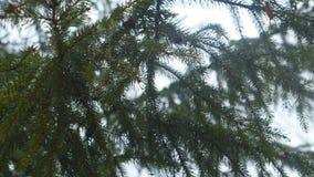 La rama verde del cierre de la picea para arriba con el ` s del agua cae metrajes
