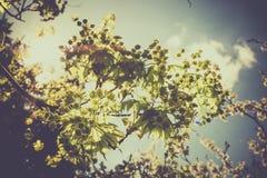 La rama viva horizontal con nuevo verde de la primavera se va contra un cielo azul claro con los rayos del haz del sol fotografía de archivo libre de regalías