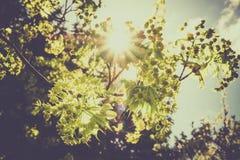 La rama viva horizontal con nuevo verde de la primavera se va contra un cielo azul claro con los rayos del haz del sol fotos de archivo