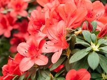 La ramificación de azaleas florecientes Fotografía de archivo