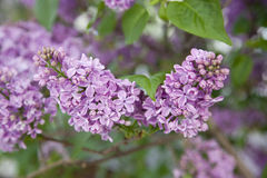 La ramificación de lilas florecientes Foto de archivo libre de regalías