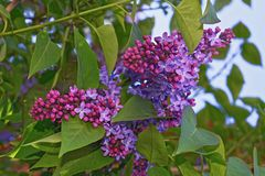 La ramificación de una lila floreciente Fotos de archivo