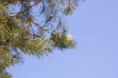 La ramificación del pino Fotos de archivo