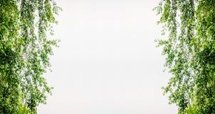La ramita agraciada del abedul con verde se va en contraluz Imágenes de archivo libres de regalías