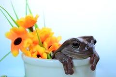 La rana arbórea del blanco Fotos de archivo