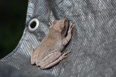 La rana arbórea está en el paño negro foto de archivo