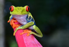 La rana arbórea roja del ojo encaramó la flor púrpura, cahuita, Costa Rica